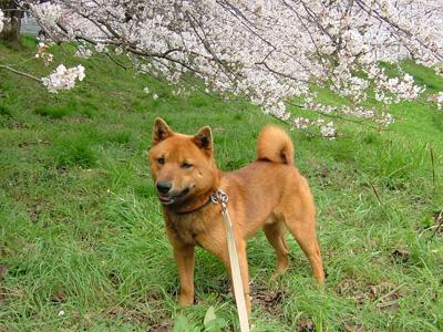桜と日本犬