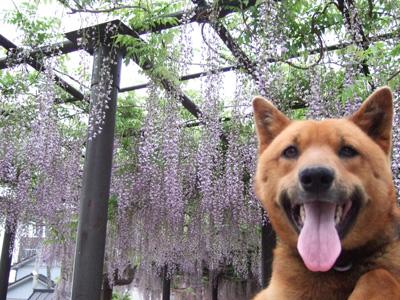 藤の花と武蔵