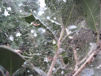 くもの巣と雪