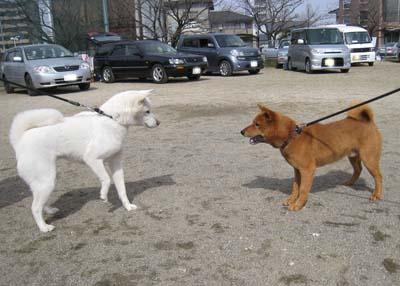 紀州犬 はなちゃん