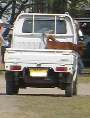 荷台に乗る犬