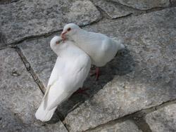 愛をささやく鳩