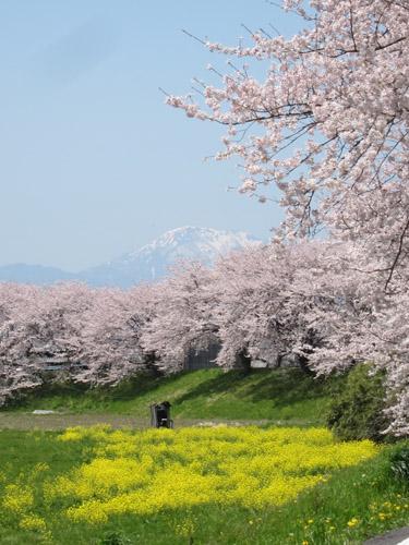 桜並木と伊吹山
