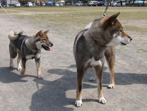 四国犬 テツ&カナ