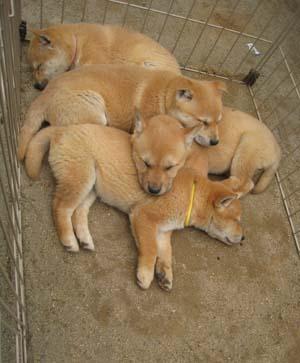 美濃柴犬 武蔵とちえりの部屋::山陰柴犬鑑賞会